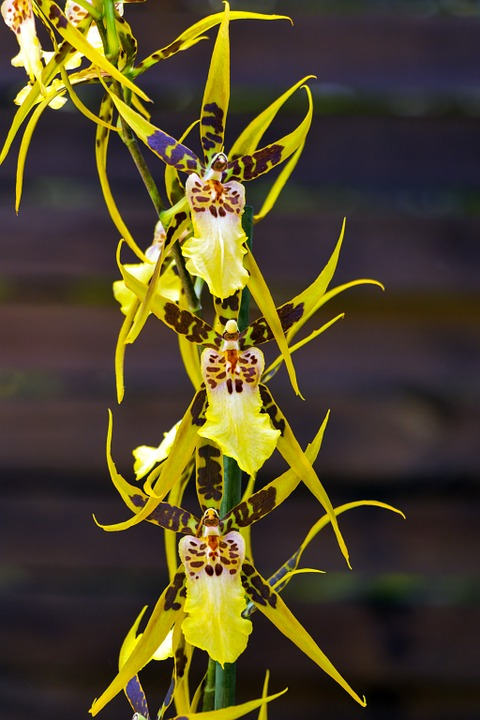 Free photo: Brassia Verrucosa, Orchid, Flower.