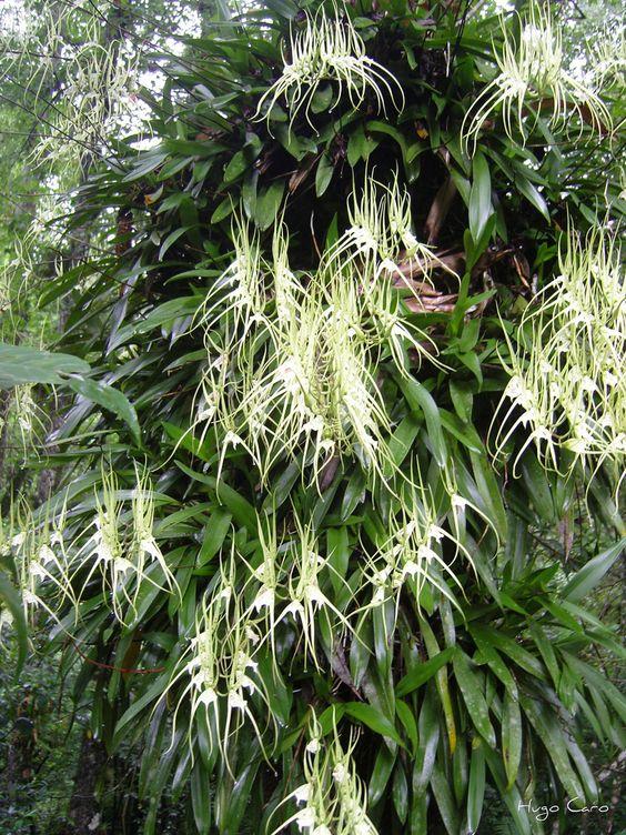 Brassia verrucosa in situ as an epiphyte.