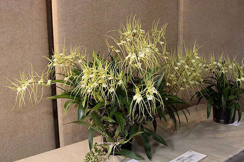 Plants & Flowers » Brassia verrucosa.