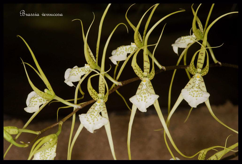 Brassia verrucosa.