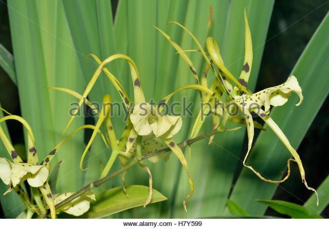 Brassia Stock Photos & Brassia Stock Images.
