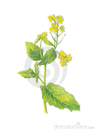 Brassica Stock Illustrations.