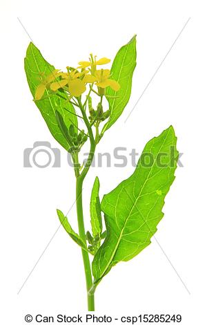 Stock Photo of Black mustard plant (Brassica nigra.