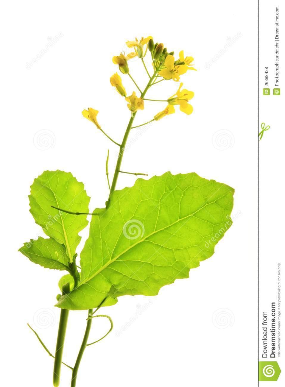 Canola Plant (Brassica Napus) Royalty Free Stock Photos.