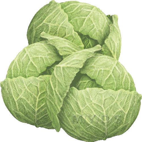 Cabbage, Brassica Oleracea clipart / Free clip art.