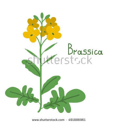 Brassica Stock Photos, Royalty.