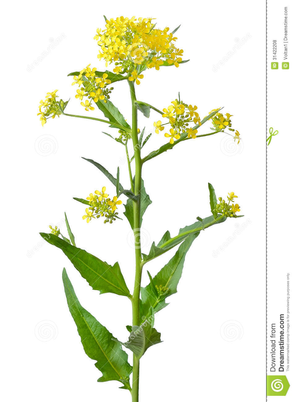Brassica Campestris Flower Royalty Free Stock Photos.