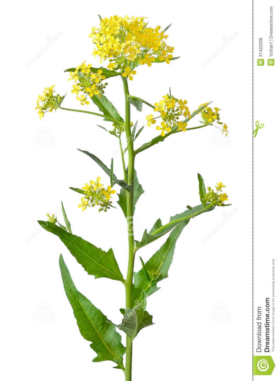 Brassica Campestris Flower Royalty Free Stock Photos.