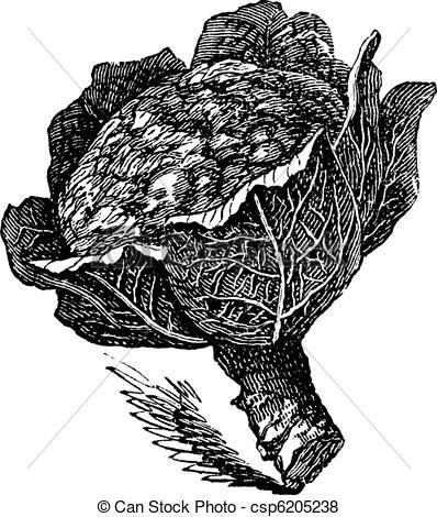 Brassica oleracea Illustrations and Clip Art. 28 Brassica oleracea.