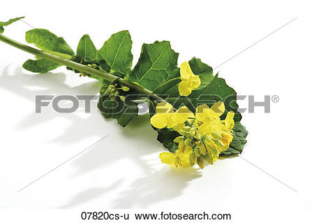 Stock Images of Rape bloom, (Brassica napus), close.