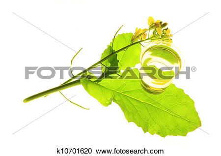 Stock Photography of Canola plant (Brassica napus) k10701620.