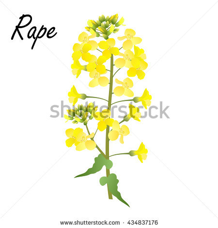 Brassica Stock Photos, Royalty.