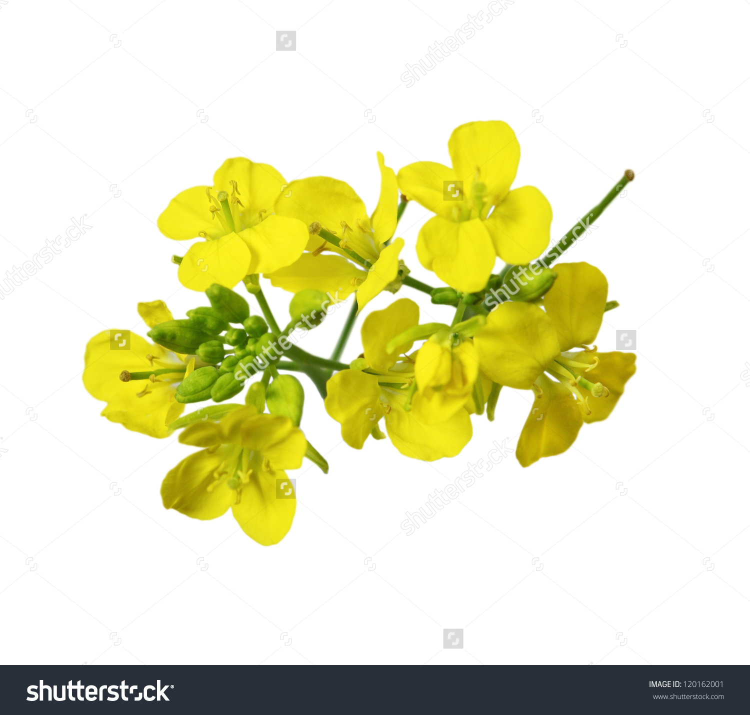 Rapeseed Blossoms Brassica Napus Flower Isolated Stock Photo.