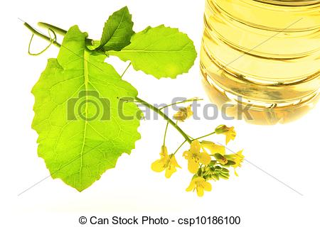 Stock Photography of rapeseed (Brassica napus).