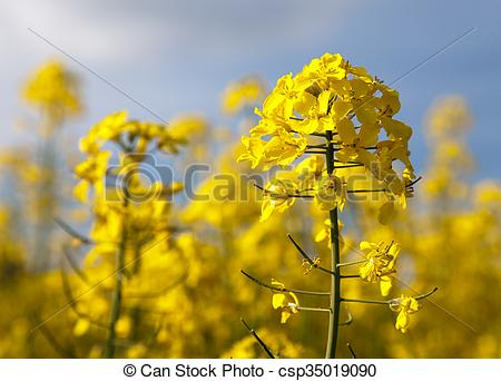 Stock Photographs of detail of flowering rapeseed.