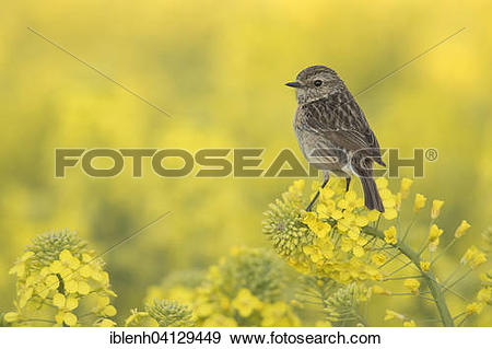 Stock Photograph of European Stonechat (Saxicola rubicola), female.