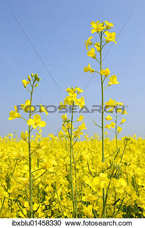 Stock Photography of Canola flowers (Brassica napus.