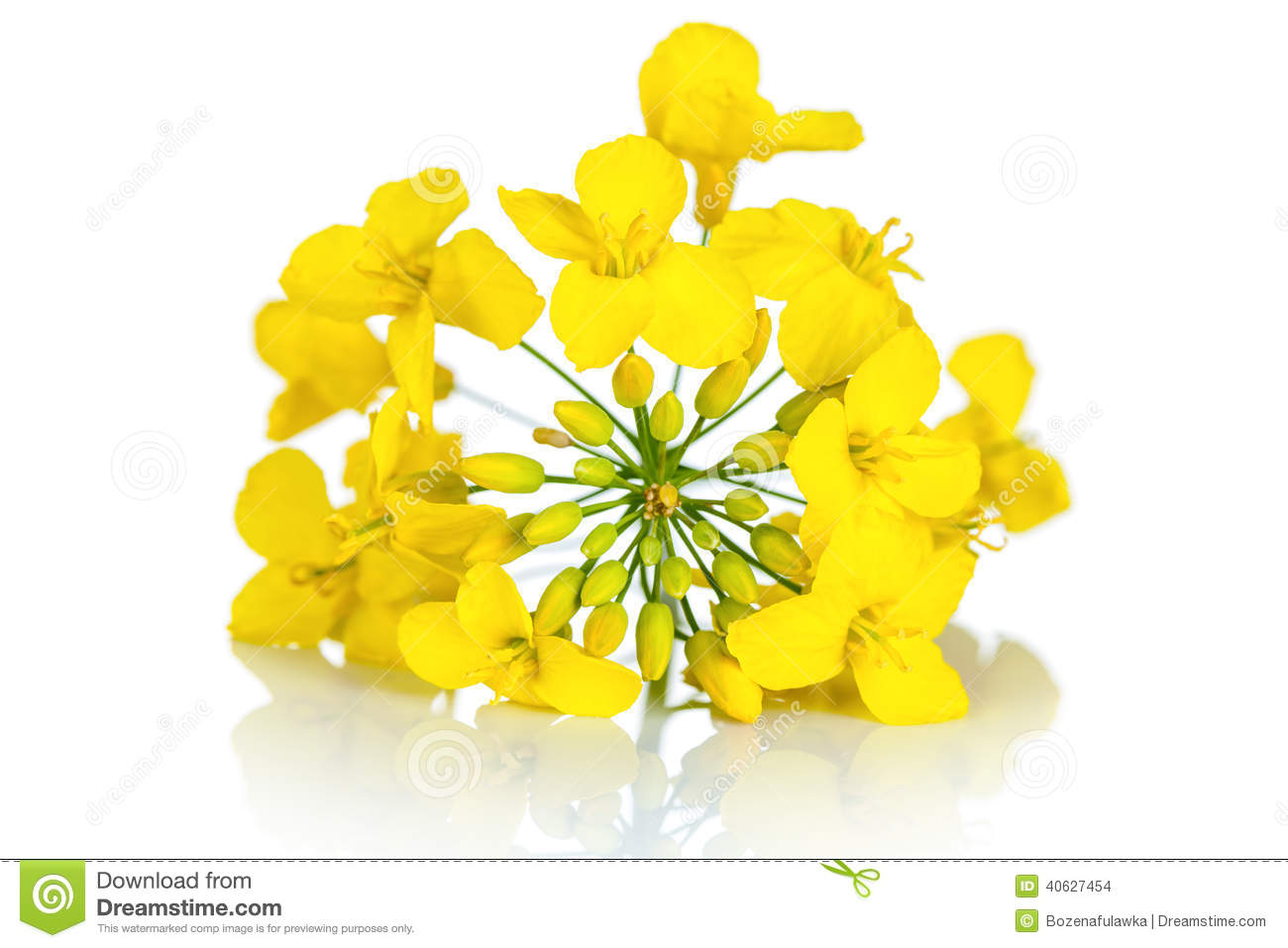 Rapeseed Flower Stock Photo.