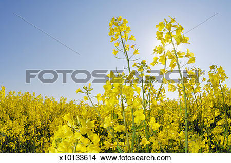 Stock Photo of Oilseed rape (Brassica napus), close up x10133614.