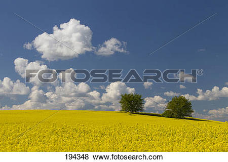 Pictures of Field of Rape (Brassica napus) in full flower. Germany.