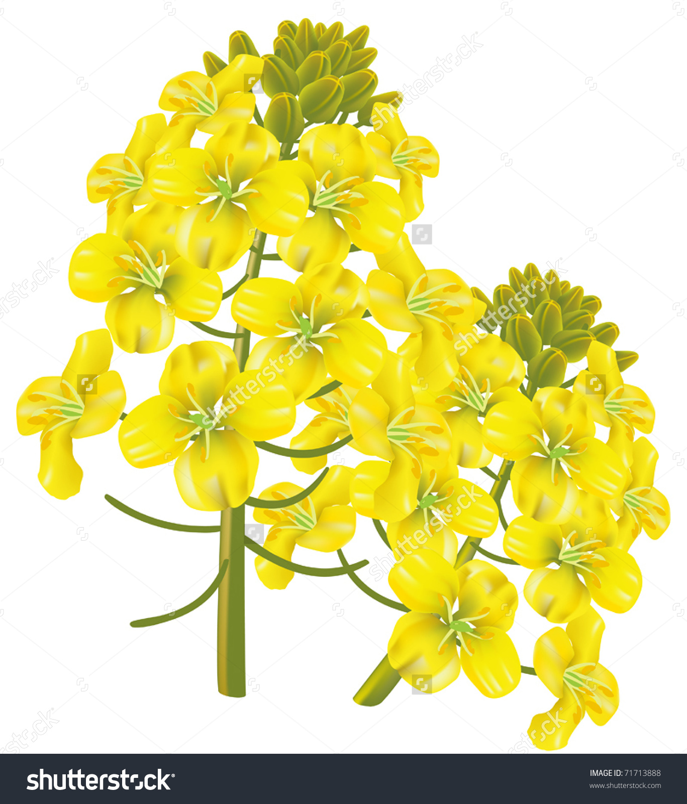 Rapeseed Flower Brassica Napus Vector Illustration Stock Vector.