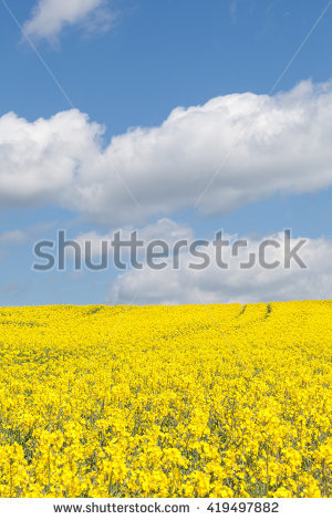 Rapeseed Stock Photos, Royalty.