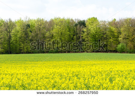 Flower Rapeseed Brassica Napus Isolated Stock Photo 70745233.