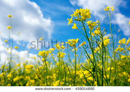 Brassica Napus Stock Photos, Royalty.