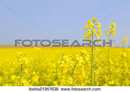 Pictures of Flowering canola field (Brassica napus) ibxblu01957638.