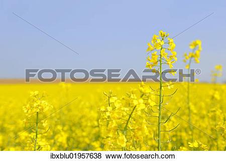 Pictures of Flowering canola field (Brassica napus) ibxblu01957638.