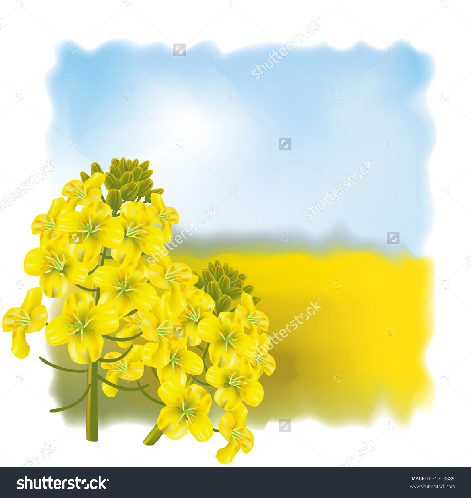 Rapeseed Flower Brassica Napus On Background Stock Vector 71713885.