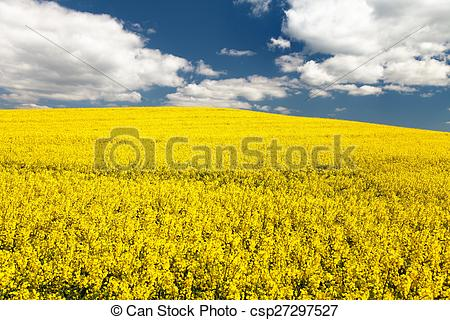 Stock Photo of field of rapeseed.