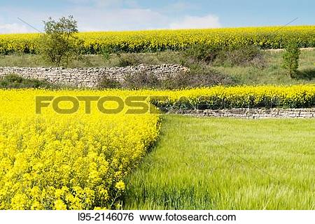 Stock Images of Fields of Canola Brassica napus flowered in Spring.