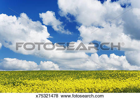 Pictures of Germany, Bavaria, Freising, Giggenhausen, rape field.