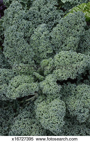 "Stock Image of Brassica oleracea 'Blue Lake' ""Kale"" x16727395."