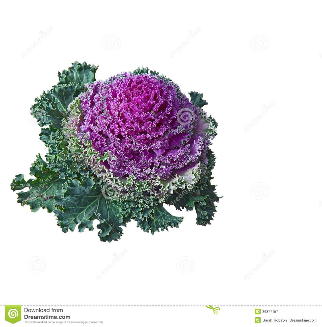 Kale Plant Clipart.