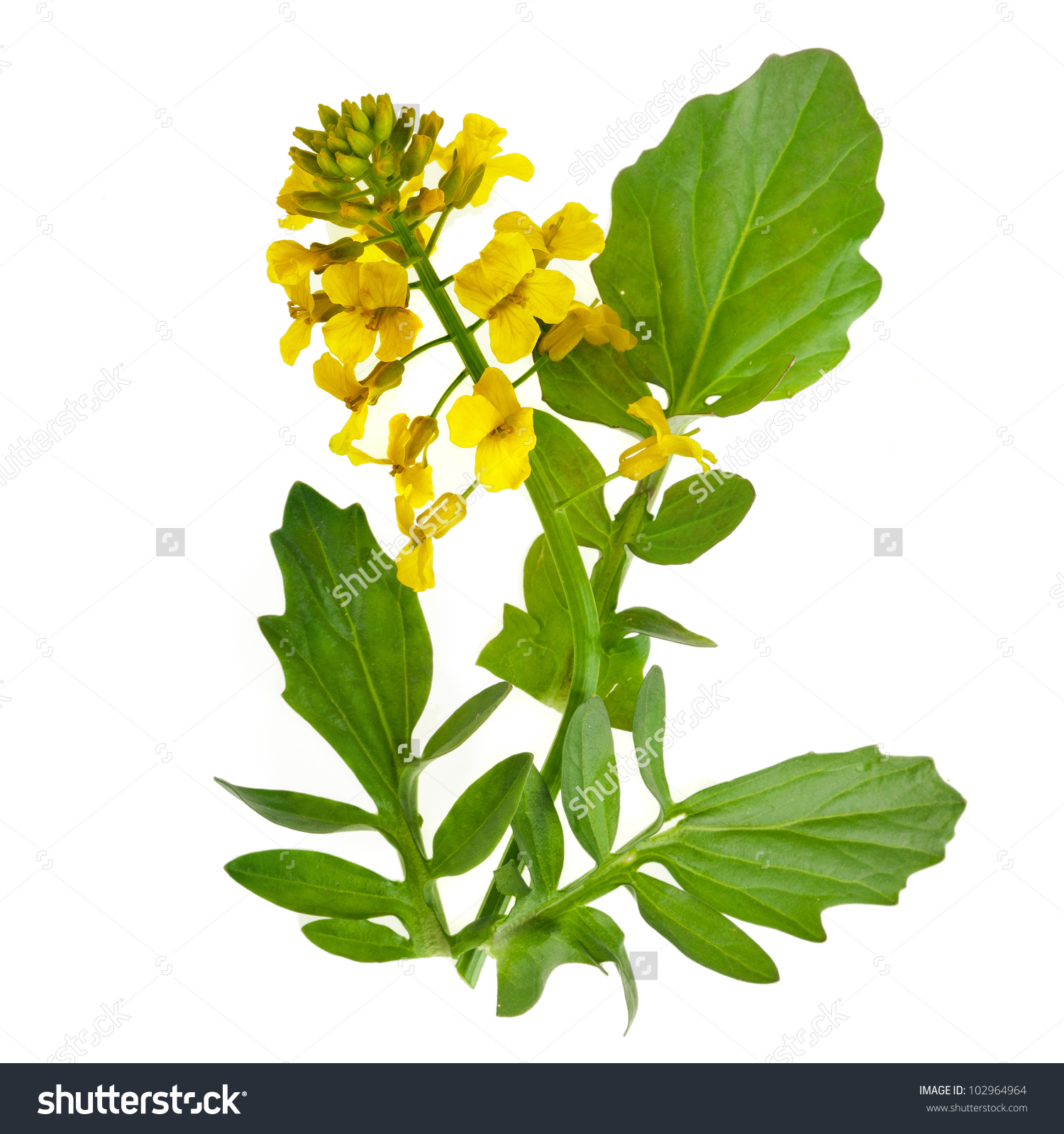 Flowering Barbarea Vulgaris Yellow Rocket Plant Stock Photo.