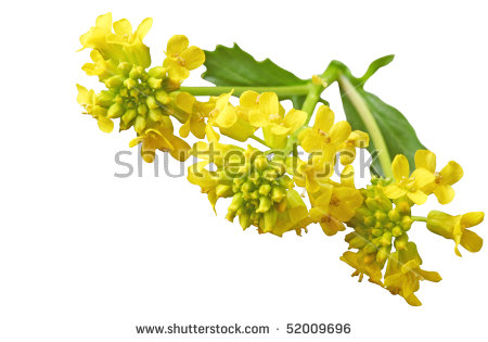 Mustard Plant Stock Photos, Royalty.