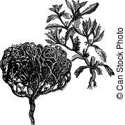 Brassicaceae Vector Clip Art Royalty Free. 30 Brassicaceae clipart.