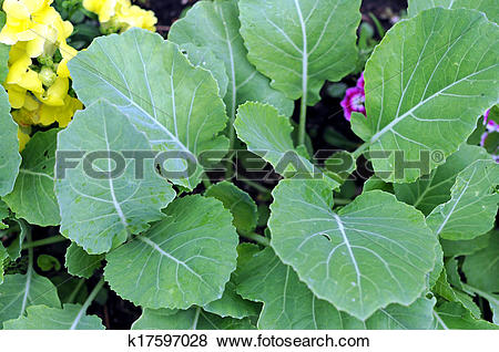 Pictures of young Brassicaceae (gai lan) tree in garden k17597028.