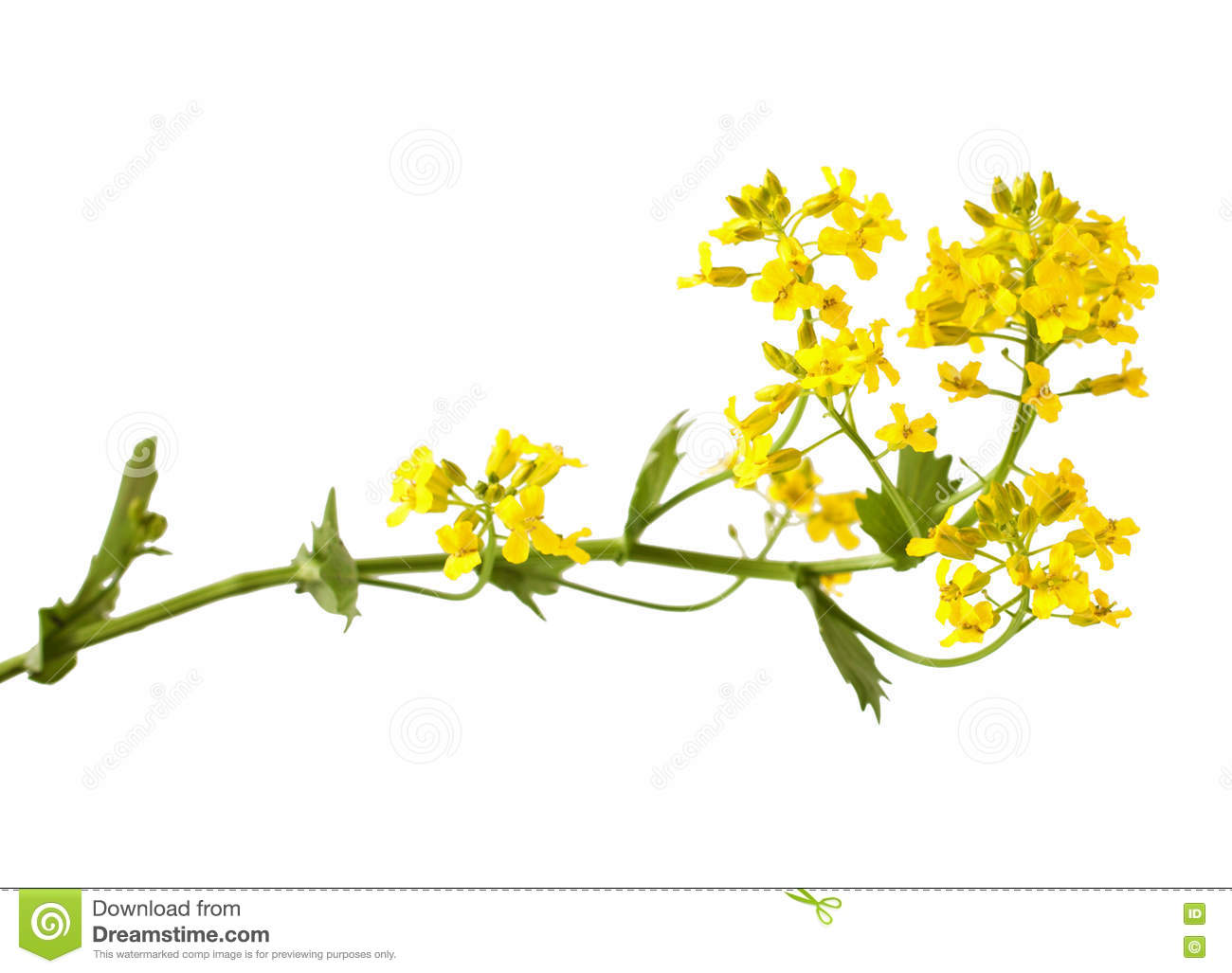 Flowering Barbarea Vulgaris Or Yellow Rocket Plant Stock Photo.