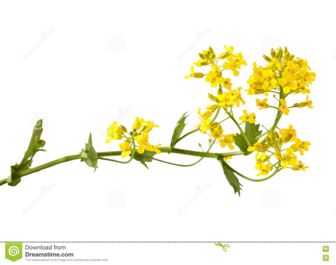 Flowering Barbarea Vulgaris Or Yellow Rocket Plant Stock Photo.