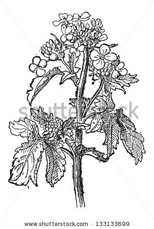 Brassicaceae Stock Vectors & Vector Clip Art.
