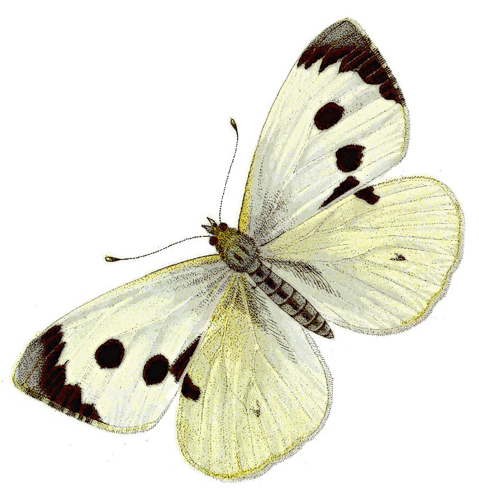Cabbage white butterfly clipart.