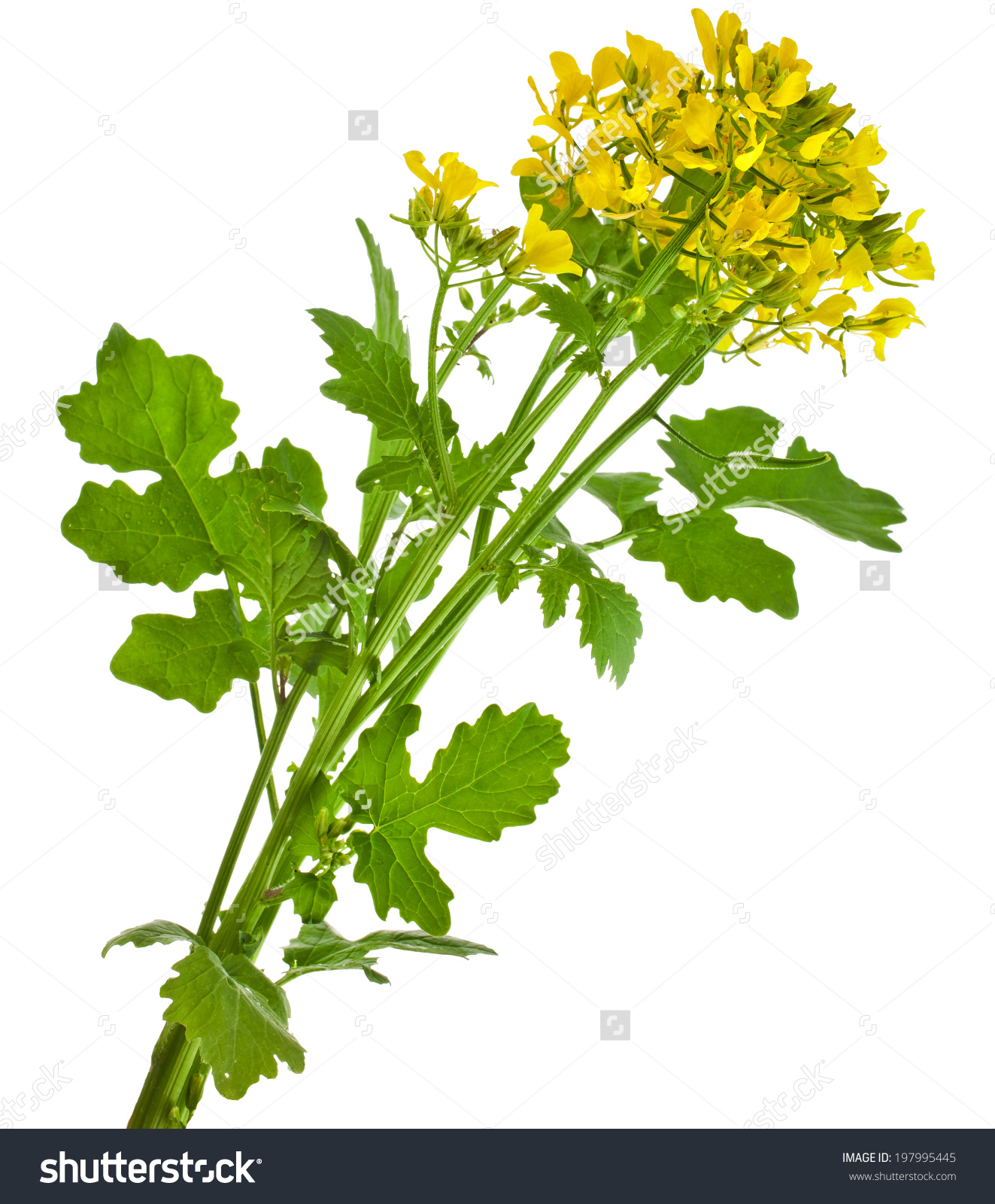 Mustard Blooming Plant Brassica Nigra Isolated Stock Photo.