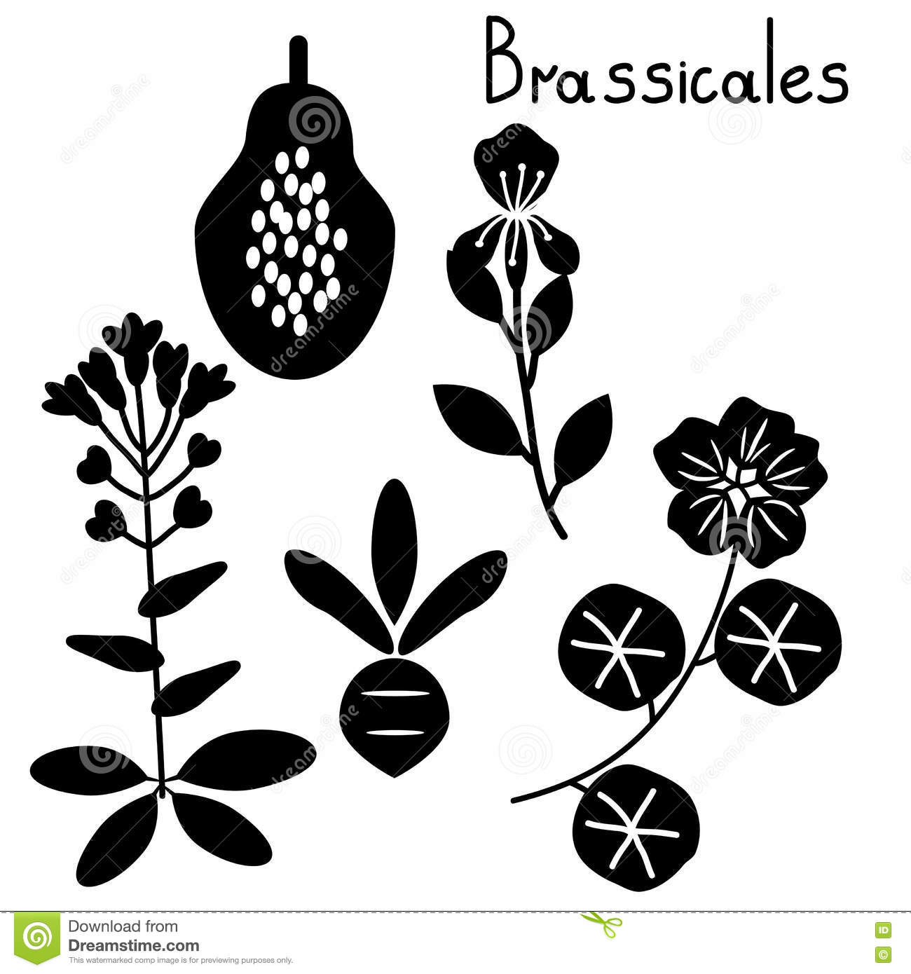 Brassicales Plant Order Stock Vector.