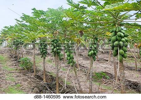 Stock Image of Hawa? , Big Island , Papaya Carica papaya , Order.