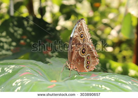 Giant Owl Butterfly Stock Photos, Royalty.