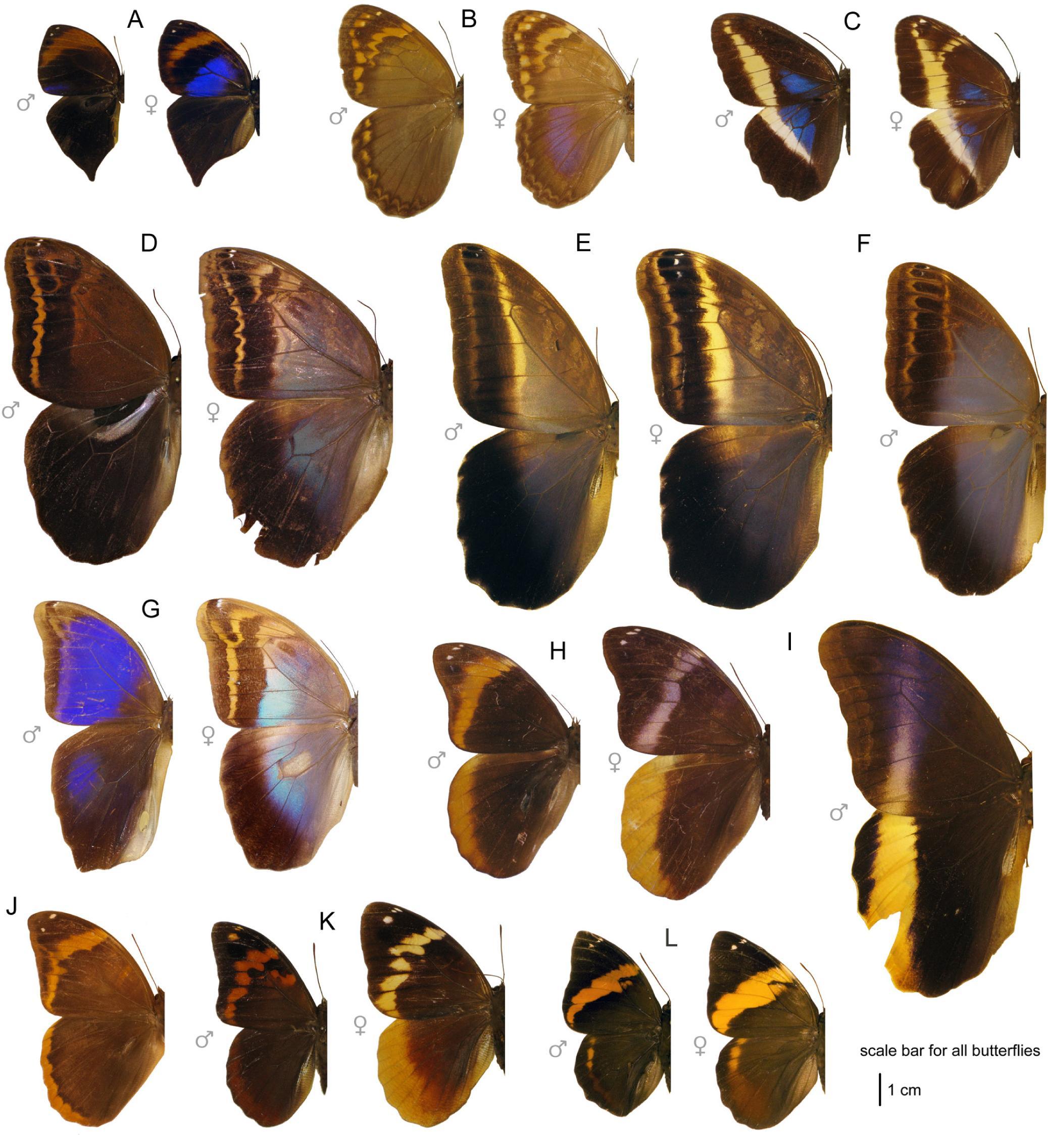 Wing pattern diversity in Brassolini butterflies (Nymphalidae.