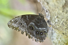 Butterfly Morphinae Stock Photo.